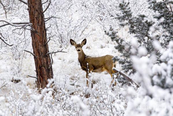 Photograph - Mule Deer Does by Steve Krull