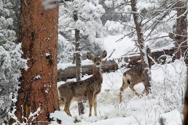 Photograph - Mule Deer In Heavy Snowfall by Steve Krull