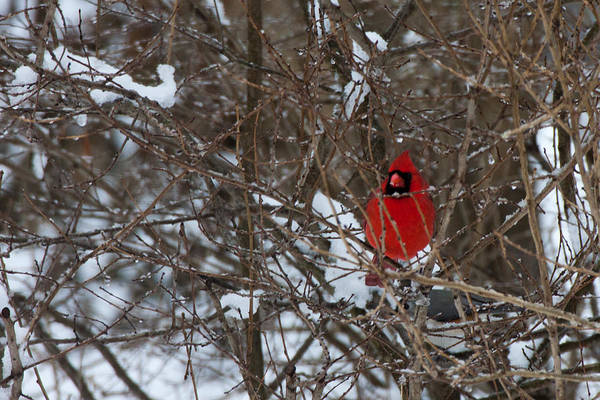 Photograph - Northern Red Cardinal In Winter by Jeff Folger