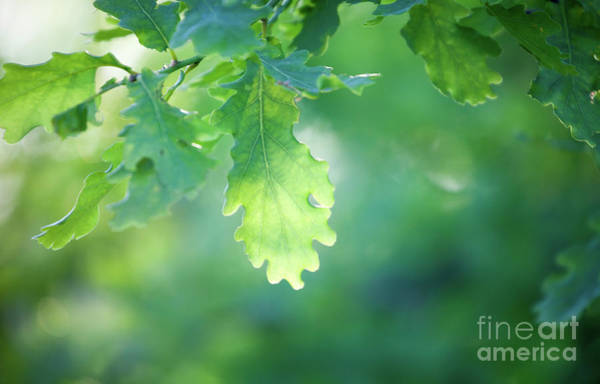 Wall Art - Photograph - Oak Branch by Kati Finell