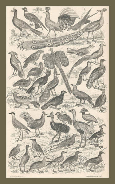 Peacock Drawing - Ornithology by Dreyer Wildlife Print Collections