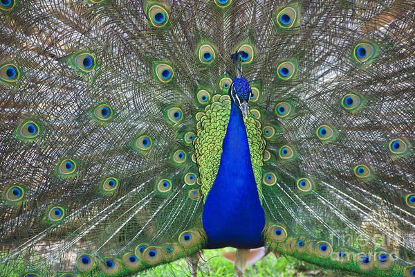 Photograph - Peacock by Jill Lang
