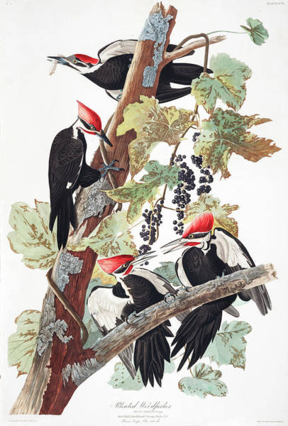 Wall Art - Painting - Pileated Woodpecker by John James Audubon