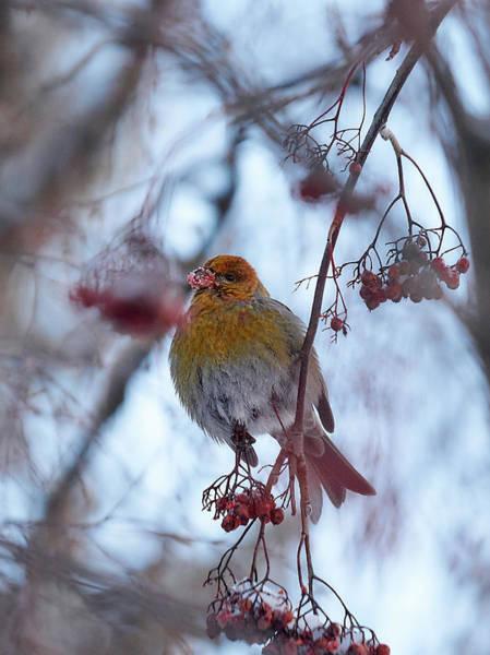 Pine Grosbeak Photograph - Pine Grosbeak by Jouko Lehto