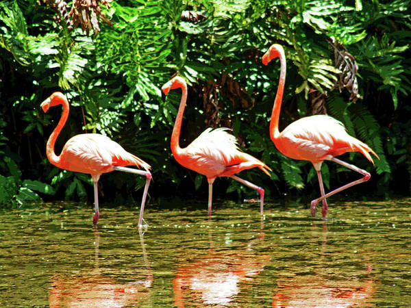 Photograph - 3 Pink Flamingos by Larry Oskin