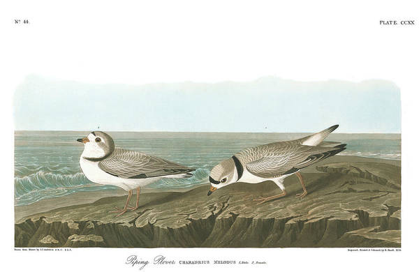Wall Art - Painting - Piping Plover by John James Audubon