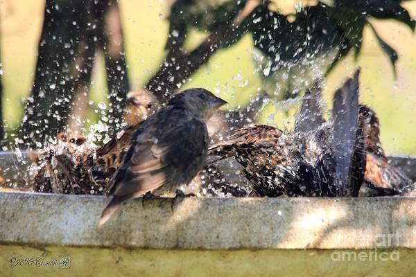 Molothrus Ater Photograph - Pool Party by J McCombie