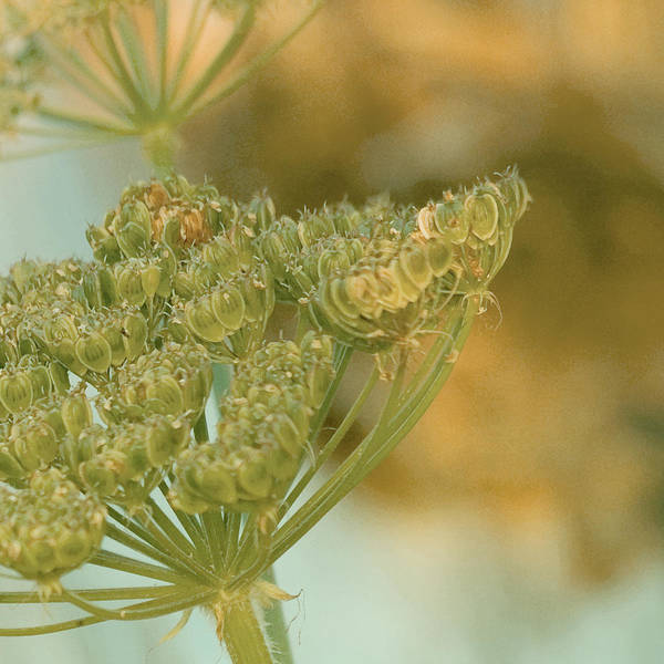 Wall Art -  - Queen Anne's Lace by Bonnie Bruno