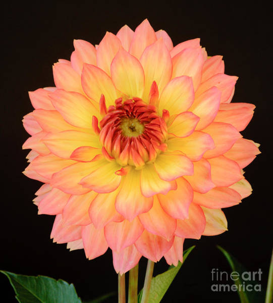 Photograph - Red And Yellow Dahlia by Colin Rayner