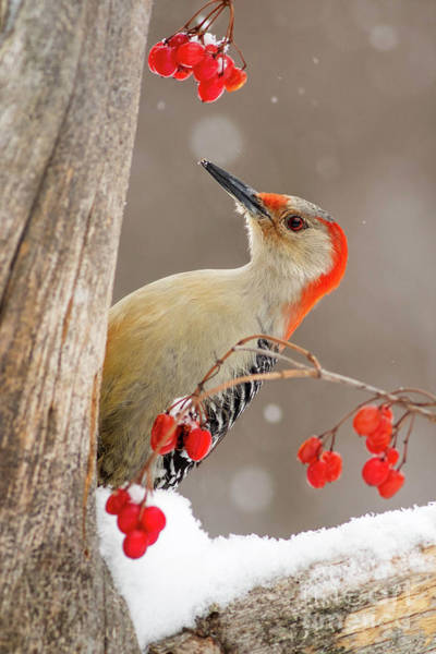 Wall Art - Photograph - Red Bellied Woodpecker by Todd Bielby