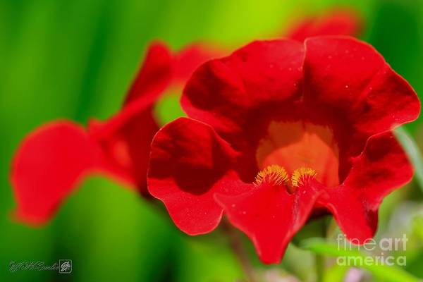 Wall Art - Photograph - Red Mimulus From The Magic Rainbow Mix by J McCombie
