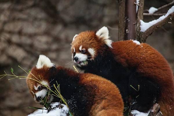 Red Digital Art - Red Panda by Super Lovely