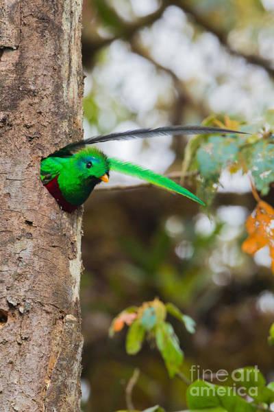 Quetzals Photograph - Resplendent Quetzal by B.G. Thomson