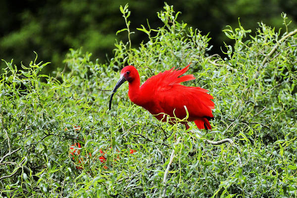 Photograph - Scarlet Ibis by Bill Hosford