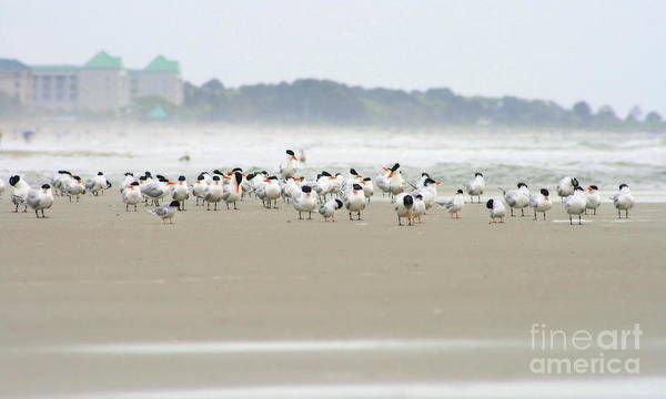 Photograph - Seabirds On Hilton Head Shoreline by Angela Rath