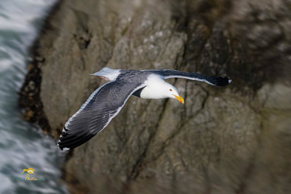 Photograph - Seagull by Jim Thompson