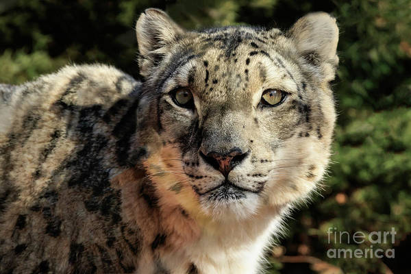 Photograph - Snow Leopard by Richard Smith