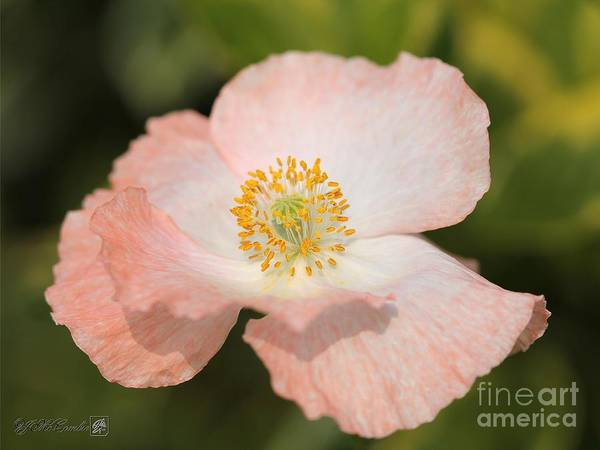 Wall Art - Photograph - Single White And Coral Poppy From The Angel's Choir Mix by J McCombie