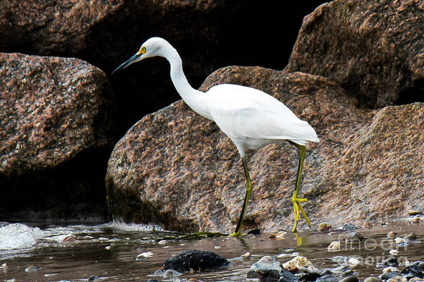 Photograph - Snowy White Egret Fishing by Michael D Miller