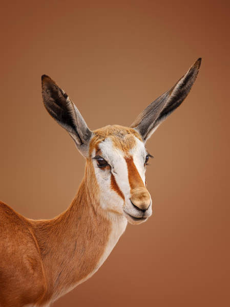 Wall Art - Photograph - Springbok Portrait by Johan Swanepoel