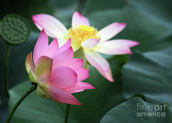 Photograph - 3 Stages Of Lotus by Sabrina L Ryan
