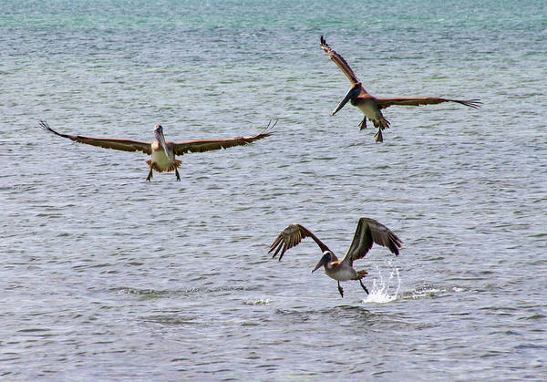 Photograph - 3 Stages Of Pelican Flight by Bob Slitzan