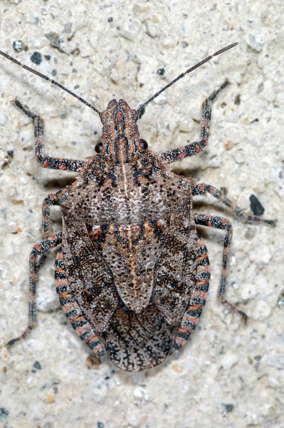 Art Print featuring the photograph Stink Bug by Breck Bartholomew