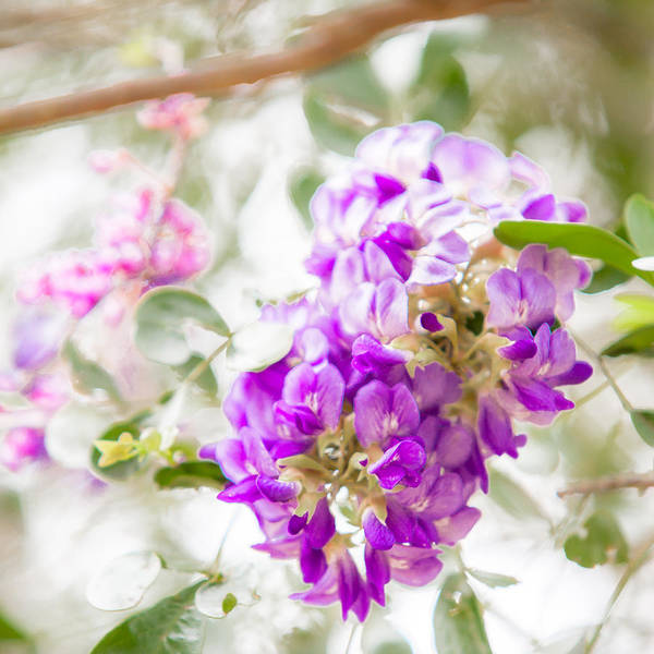 Photograph - Study In Purple And Pink by Melinda Ledsome