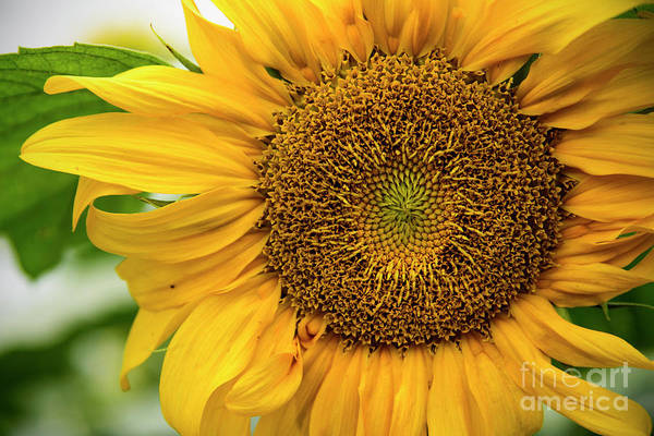Photograph - Sunflower  by Debra Fedchin