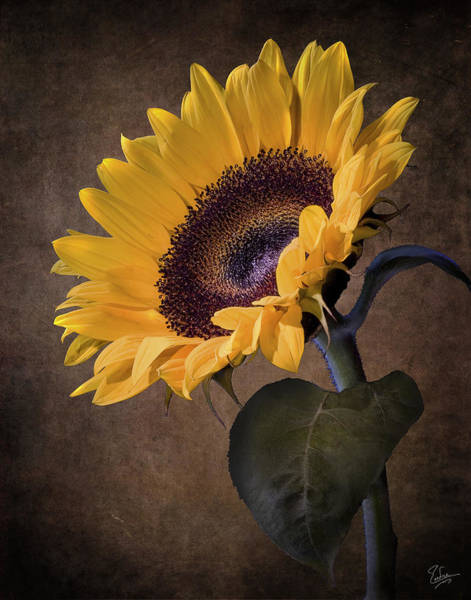 Photograph - Sunflower by Endre Balogh