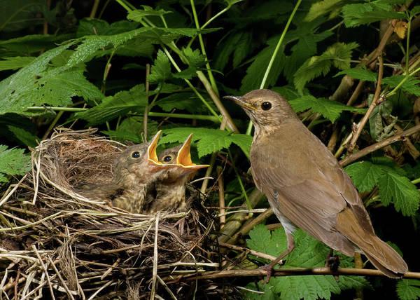 Swainsons Thrush Photograph - Swainson's Thrush At Nest by Damon Calderwood