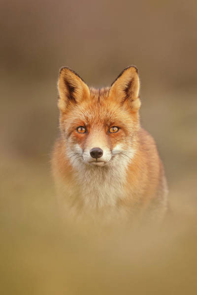 Cute Overload Photograph - That Foxy Face by Roeselien Raimond