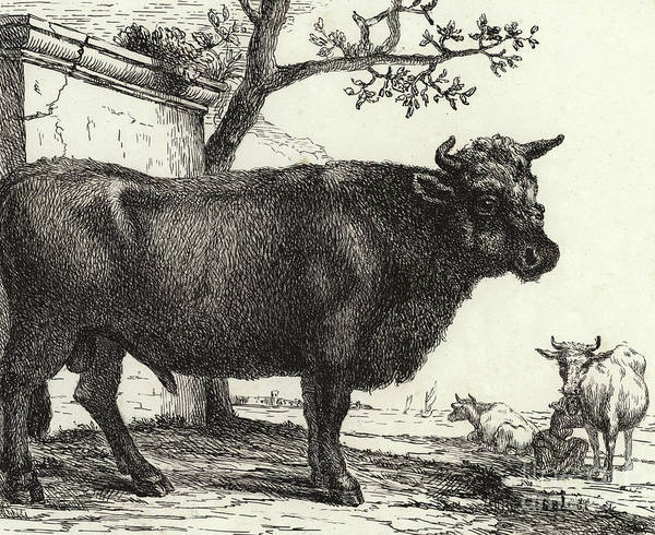 Beast Drawing - The Bull by Paulus Potter