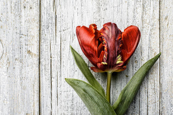 Wooden Photograph - Tulip by Nailia Schwarz
