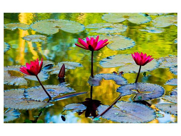 Photograph - 3 Water Lilys by Michael Raiman