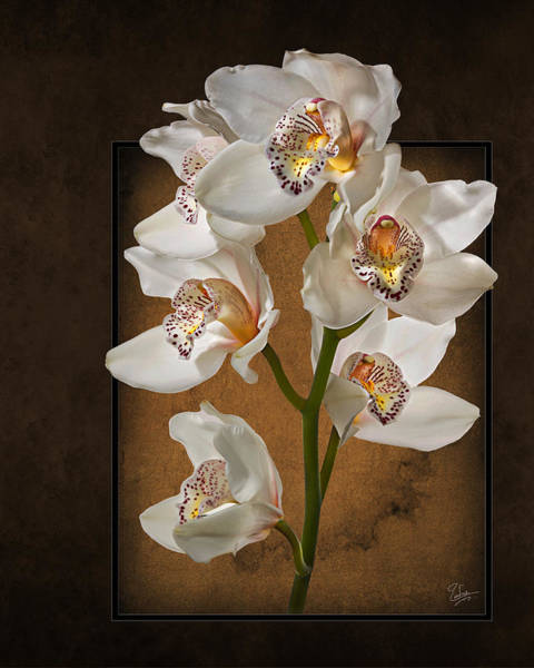 Photograph - White Orchids by Endre Balogh