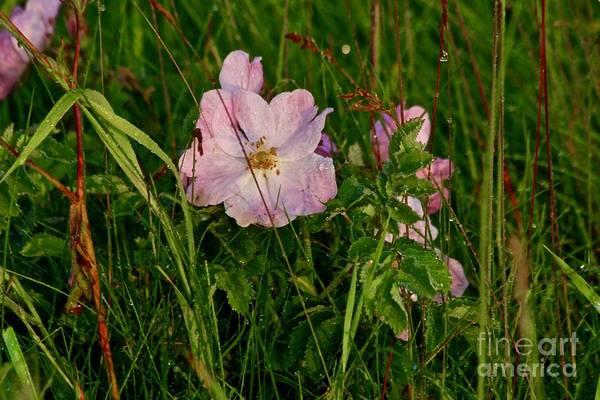 Photograph - Wild Rose by Ann E Robson