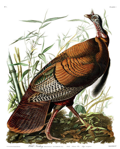 Wall Art - Painting - Wild Turkey by John James Audubon