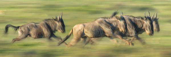 Migrate Photograph - Wildebeests Connochaetes Taurinus by Panoramic Images