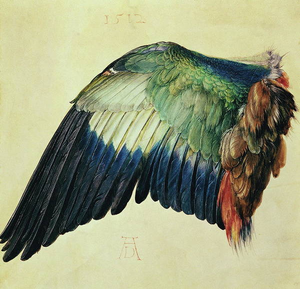 Wings Drawing - Wing Of A Blue Roller by Albrecht Durer