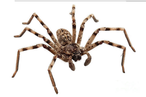 Arthropods Painting - Wolf Spider Lycosa Sp by Pablo Romero