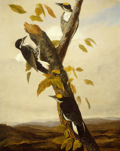 Stump Painting - Woodpeckers by John James Audubon