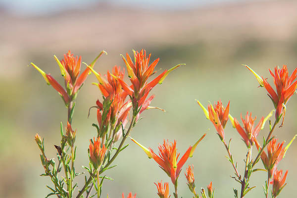 Wall Art - Photograph - Wyoming Indian Paintbrush by Rich Leighton