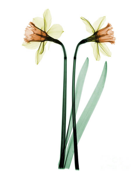 Photograph - X-ray Of Daffodil Flower by Ted Kinsman