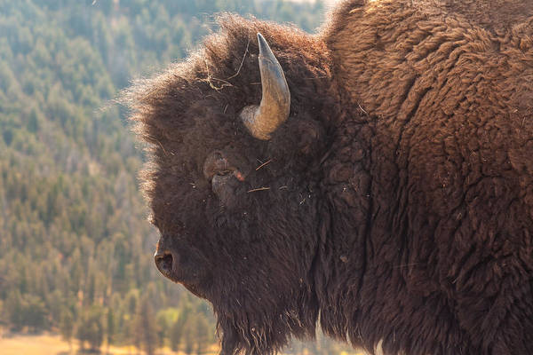 Photograph - Yellowstone Bison by Brenda Jacobs