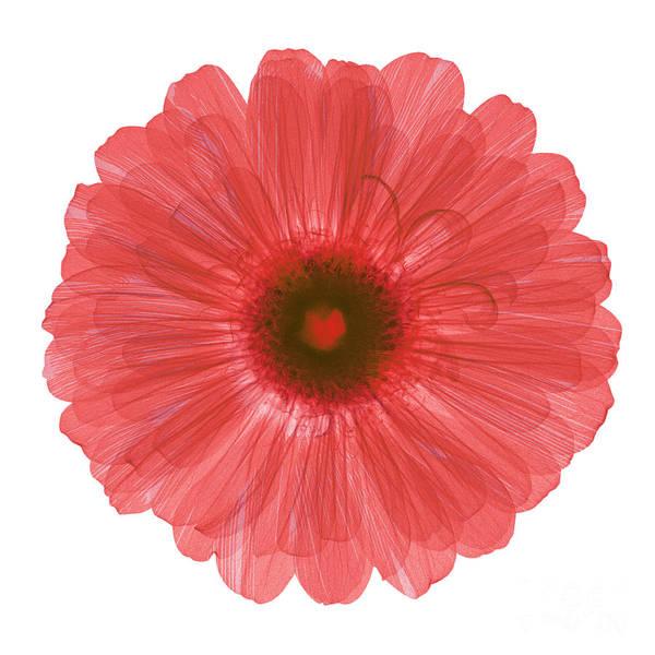 Photograph - Zinnia Flower, X-ray by Ted Kinsman