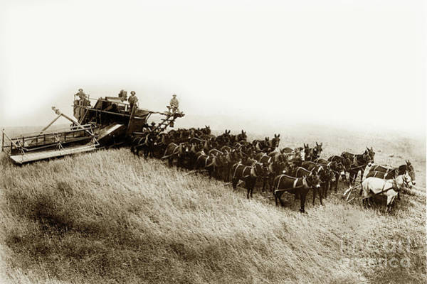 Photograph - 32 Mules Pulling A Holt Bros. Side-hill Harvester Circa 1905 by California Views Archives Mr Pat Hathaway Archives