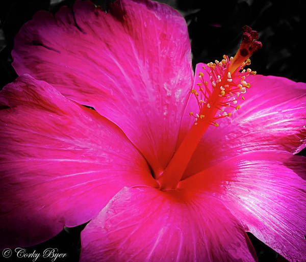 Wall Art - Photograph - Pink Hibiscus by Corky Byer