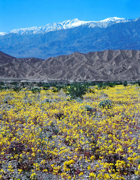 Photograph - 3a6856 Flowers In Death Valley V by Ed Cooper Photography
