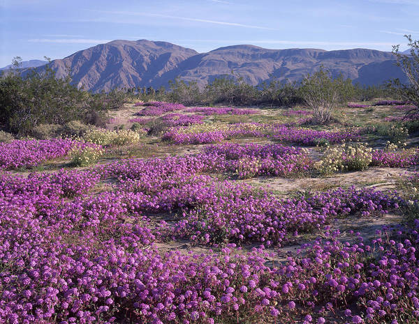 Photograph - 3a6901 Wildflowers In Anza Borrego Desert State Park by Ed Cooper Photography